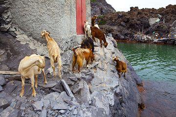 Goats on Palea Kameni (Photo: Tom Pfeiffer)