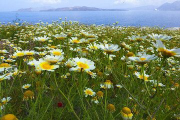 Spring flowers on Santorini with the caldera in the background. (Photo: Tom Pfeiffer)