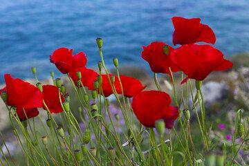 Red poppies at the caldera of Santorini, Greece (Photo: Tom Pfeiffer)