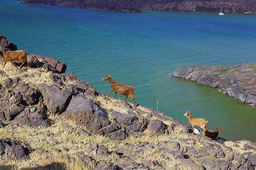 Sostis' herd of goats on Palea Kameni island (Photo: Tom Pfeiffer)
