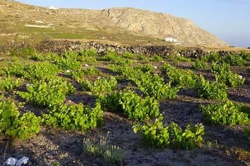 Wine field near Pirgos, Santorini (Photo: Tom Pfeiffer)
