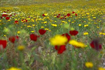 Field with flowers in spring time between Pirgos and Emborio, Santorini (Photo: Tom Pfeiffer)