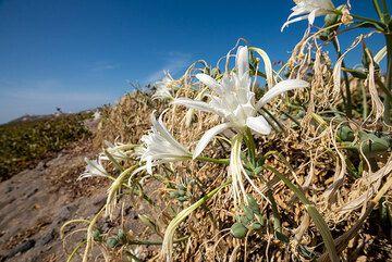 The white Pancratium maritimum, or sea daffodil, is common on the fields on Santorini (DE: Strandnarzisse). (Photo: Tom Pfeiffer)