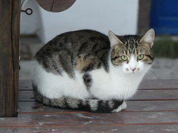 Pyrgos feline. (Photo: Ingrid Smet)