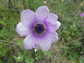 Early spring time wild anemone. (Photo: Ingrid Smet)