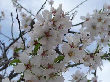 Almond blossom. (Photo: Ingrid Smet)