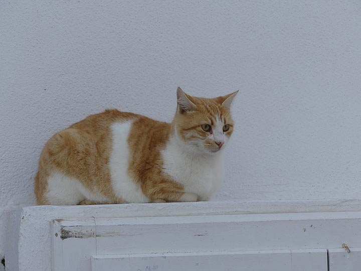 Oia feline watching the winter tourists in town. (Photo: Ingrid Smet)