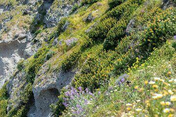 Green macchia covering the pumice cliffs (Photo: Tom Pfeiffer)