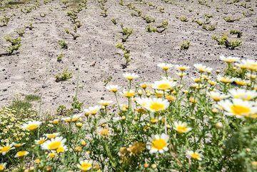 Daisies and the wineyard (Photo: Tom Pfeiffer)
