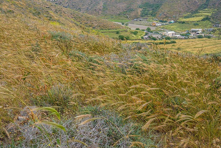 Once upon a time, barley fields were plenty to produce the local bread. Now, it has become wild and still grows on the abandoned farmlands. (Photo: Tom Pfeiffer)
