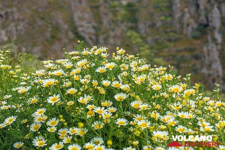 View of the daisies. (Photo: Tom Pfeiffer)