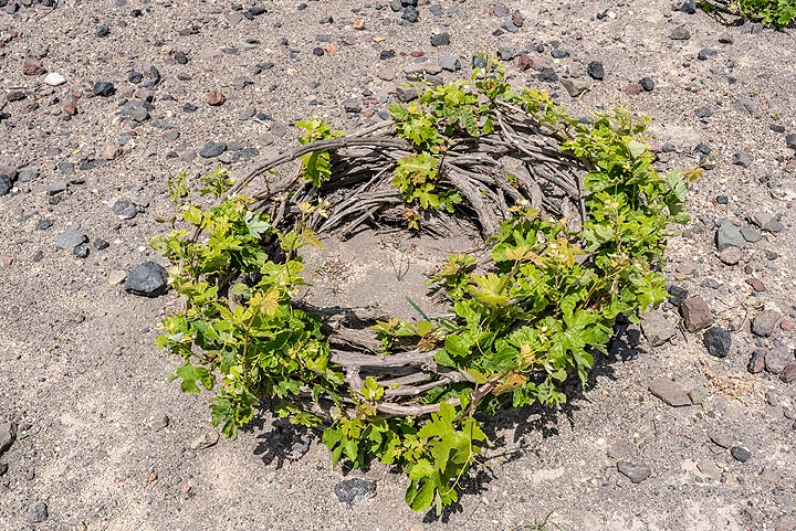 """On Santorini, wine is grown using the """"koulara"""" method, the plant being woven into round baskets. (Photo: Tom Pfeiffer)"""