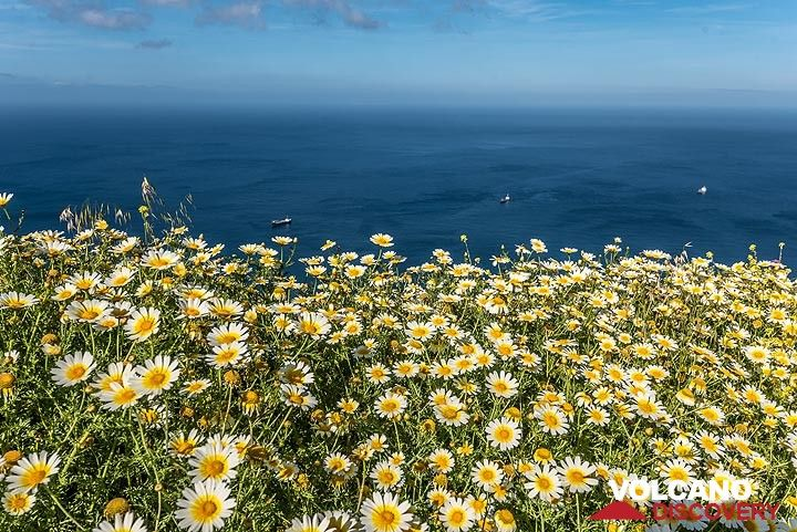 Daisies and the sea (Photo: Tom Pfeiffer)