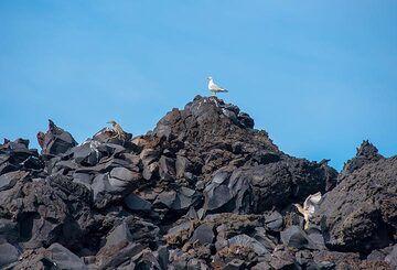 Sea birds sitting on the blocky lava flows of Nea Kameni. (Photo: Tom Pfeiffer)