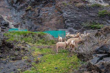 Sostis' pigs (Photo: Tom Pfeiffer)