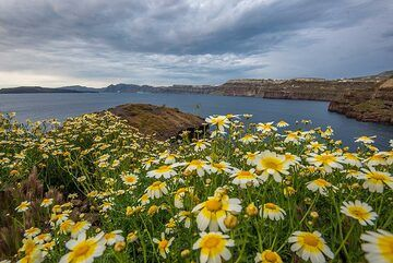 Daisies, the caldera and storm clouds. (Photo: Tom Pfeiffer)