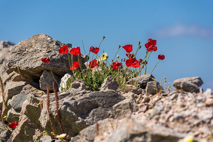 Group of red poppies (Photo: Tom Pfeiffer)
