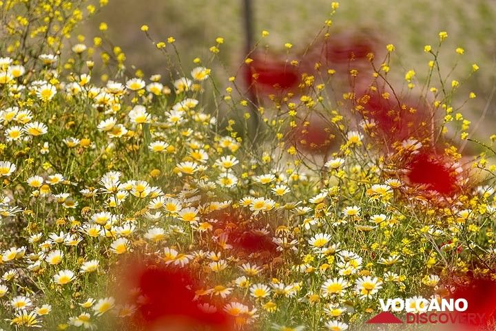 Daisies and red poppies. (Photo: Tom Pfeiffer)