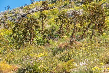 Vegetation changes with the different grounds (alternating pumice and limestone) and elevation. Large fennel flowers look like miniature trees. (Photo: Tom Pfeiffer)