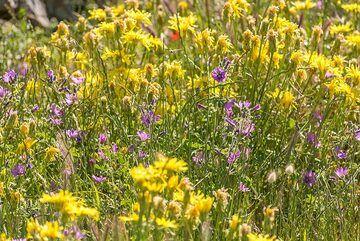 Yellow and purple wildflowers (Photo: Tom Pfeiffer)