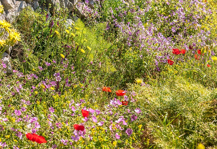 Red poppies and fennel grow along the trail. (Photo: Tom Pfeiffer)