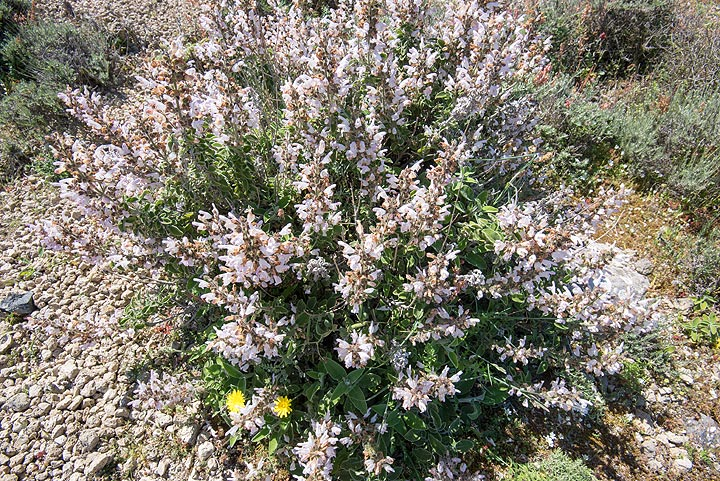 Flowering sage which grows a lot in this area. (Photo: Tom Pfeiffer)