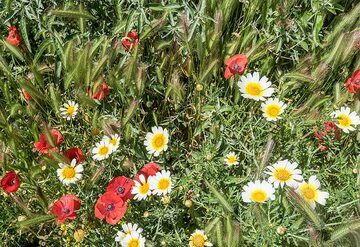 Barley, red poppies and daisies. (Photo: Tom Pfeiffer)