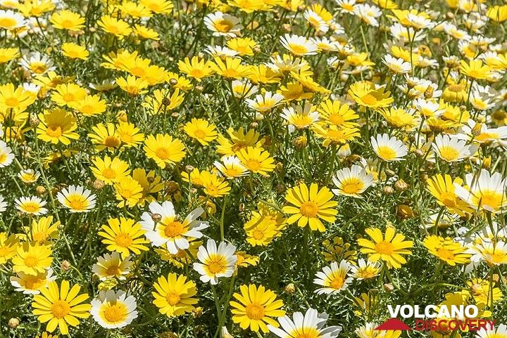 Yellow and white dominate large patches, as golden marguerite (farberkamille, Cota tinctoria) and daisies often grow together. (Photo: Tom Pfeiffer)