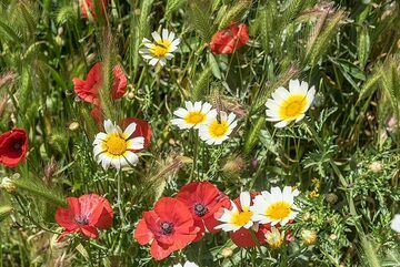 Poppies and daisies. (Photo: Tom Pfeiffer)