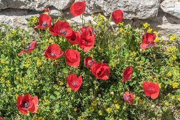 Group of red poppies. (Photo: Tom Pfeiffer)