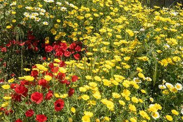 Red poppies and golden marguerites (Photo: Tom Pfeiffer)