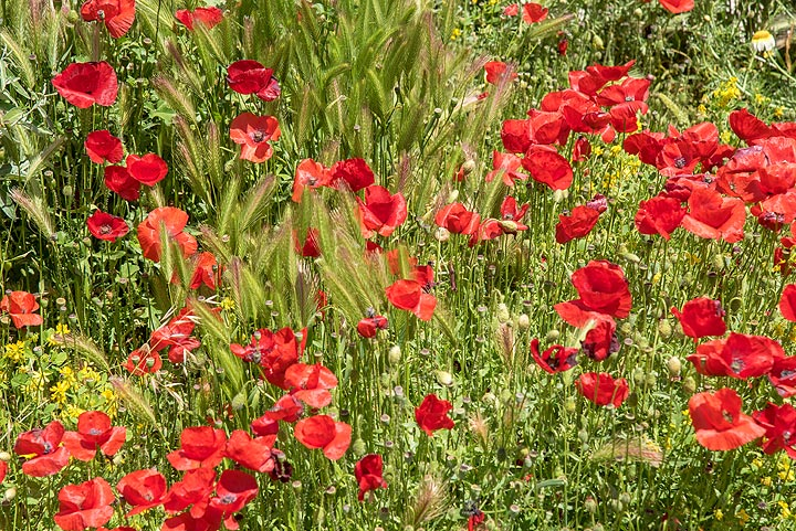 Red poppies and barley (Photo: Tom Pfeiffer)