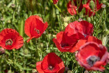 Red poppies (Photo: Tom Pfeiffer)
