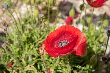 Red poppy close-up (Photo: Tom Pfeiffer)