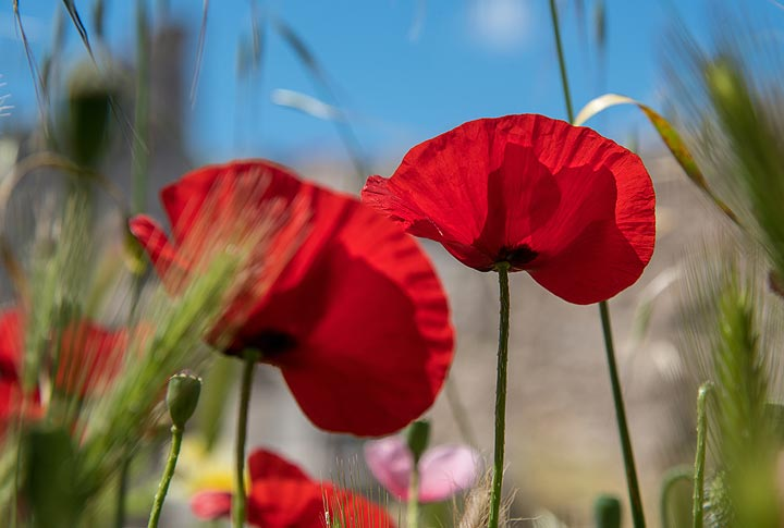 Red poppies close-up (Photo: Tom Pfeiffer)
