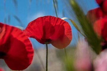 Red poppy silhouette (Photo: Tom Pfeiffer)