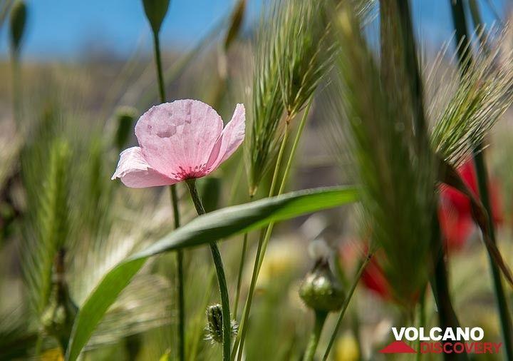 Pink poppy (Photo: Tom Pfeiffer)
