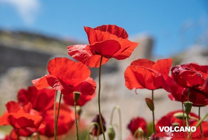 Red poppies... (Photo: Tom Pfeiffer)