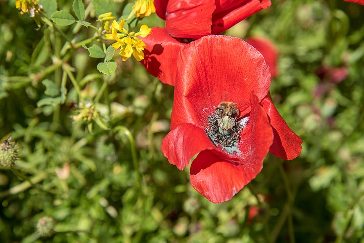 A bee is happy exploring the poppy flower. (Photo: Tom Pfeiffer)
