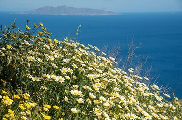 Daisies and the sea with the Island of Anafi (Photo: Tom Pfeiffer)