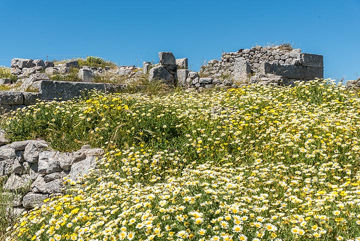 Seas of daisies (Photo: Tom Pfeiffer)