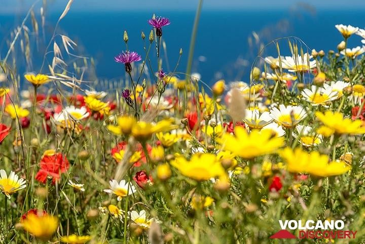 Wildflowers and the blue sea behind (Photo: Tom Pfeiffer)