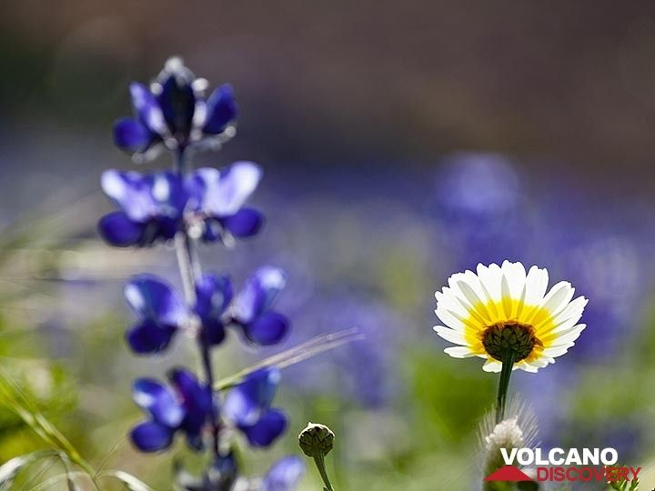Lupin flowers at the lavaflow of Kokkino Vouno volcano near Ia village (OIA). (Photo: Tobias Schorr)