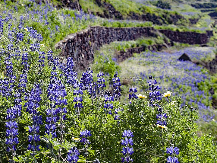 Old farmin terraces with lupin flowers. Santorini, March 2019. (Photo: Tobias Schorr)