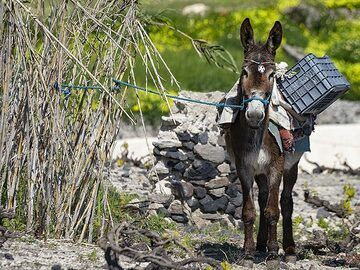 Still donkeys are an important means of transportation in the narrow lanes of the villages on Santorini. (Photo: Tobias Schorr)