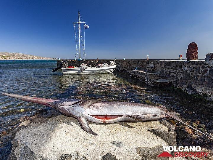 The swordfish that was caught by a fisherman for the Delfini tavern at Akrotiri. (Photo: Tobias Schorr)