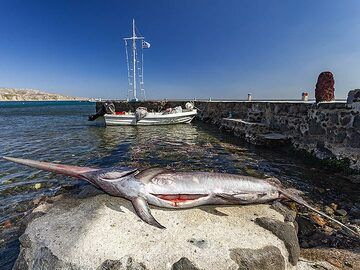 The swordfish that was caught by a fisherman for the Delfini tavern at Akrotiri. (Photo: Tobias Schorr)