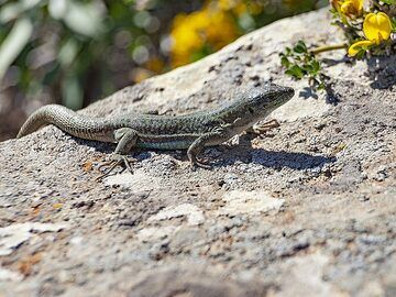 Lizard next to our hiking path. Santorini/ March 2019. (Photo: Tobias Schorr)