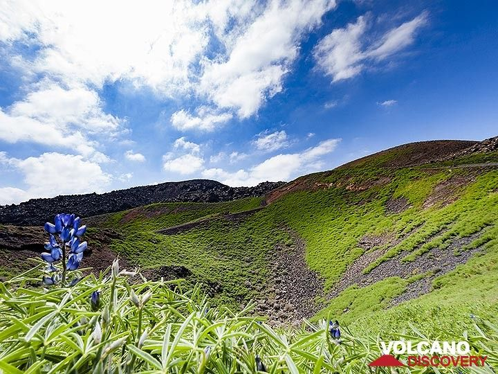 Lupin flowers in front of the phreatic crater of Daphne eruption. (Photo: Tobias Schorr)