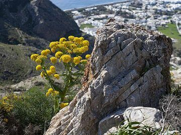 Ferula communis flowers at the ancient excavation of ancient Thera. In the beck you can see Perisa village. (Photo: Tobias Schorr)